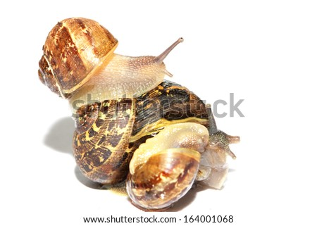 Garden snails together on a white background - stock photo