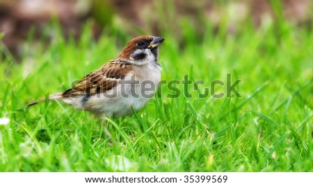 Garden sparrow - walking in grass looking for food