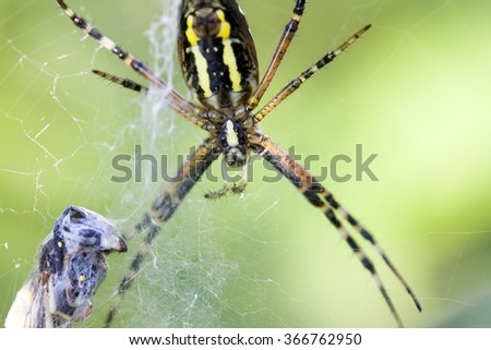 garden-spider in the web holds its prey in the summer  - stock photo