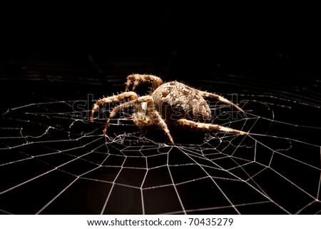 Garden spider on a silver web - stock photo