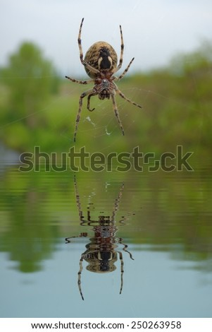 Garden spider on web with water refections - stock photo