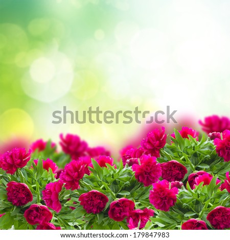 garden with blooming red  peonies flowers