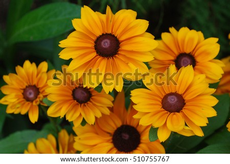 Garden with blooming rudbeckia flowers in the summer.