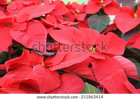 garden with poinsettias red flowers