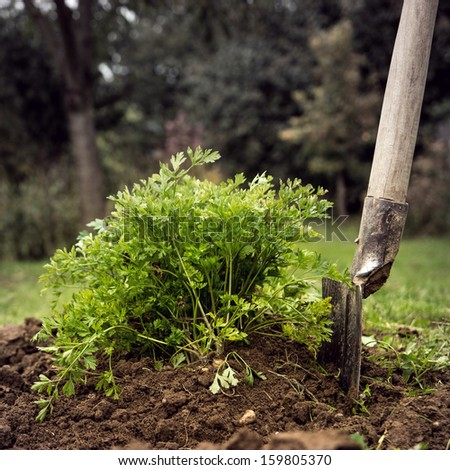 Garden work. Dig out a bunch of parsley. - stock photo