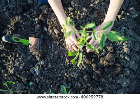 Garden Works. Young Woman Working in the Garden. planting tomatoes - stock photo