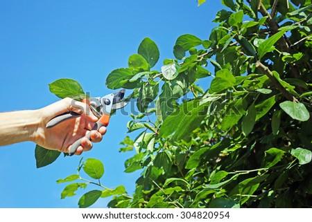 gardener cuts a branch of plum tree - stock photo