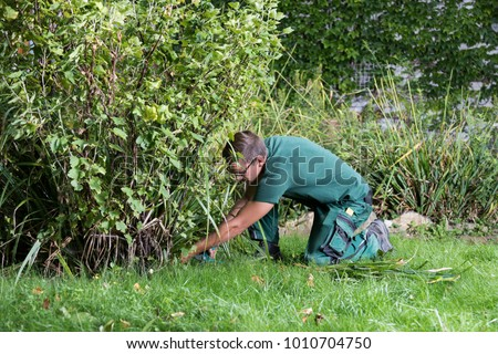 gardener cutting leaves of an red current plant