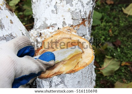 Gardener hand in a rubber glove with a knife covering a saw cut of an old whitewashed apple trunk with a graft seal to stimulate regeneration and prevent diseases and rotting in the autumn garden