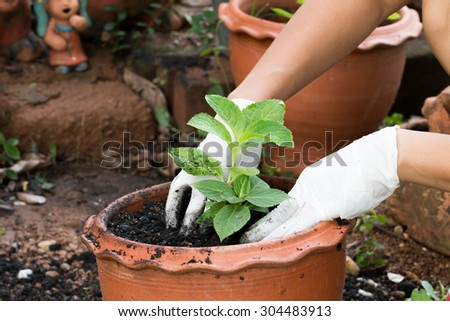 Gardener hands growing plant in pot