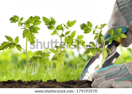 Gardener hands planting tomato seedling - stock photo