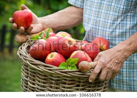 Gardener holds a basket of ripe apples - stock photo