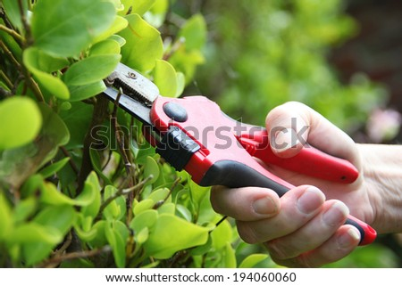 Gardener is trimming a bright green shrub in the garden with red secateurs. - stock photo