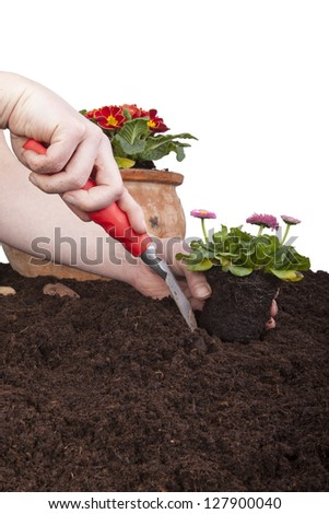 gardener planting bellis perennis (daisies) in flower soil, isolated on a white background. primroses in a terracotta flowerpot. - stock photo