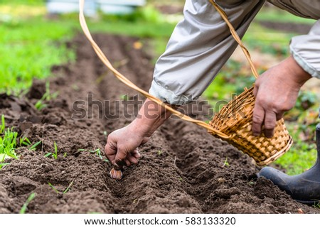 Gardener planting garlic in the vegetable garden  Spring gardening. Vegetable Seeds Stock Images  Royalty Free Images   Vectors