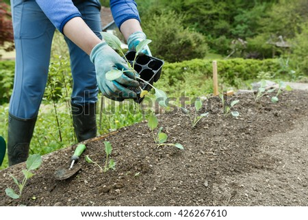 Gardener planting, plowing the broccoli seedlings in freshly ploughed garden beds. Organic gardening, healthy food, nutrition and diet, self-supply and housework concept.  - stock photo