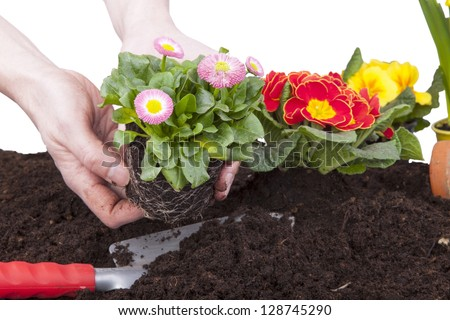 gardener planting primroses and daisy flowers in flower soil, isolated on a white background. flower bed with decoration, flowers and tools. - stock photo