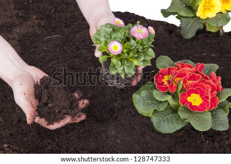 gardener planting spring flowers in flowerbed. primroses and bellis perennis (daisy flower) planting in flower soil, isolated on a white background.