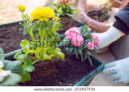Gardener planting the flowers in spring.