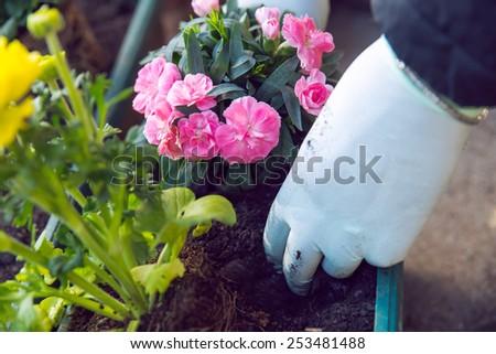 Gardener planting the flowers in spring. - stock photo