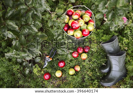 Gardener tools set  on green garden grass. Apple harvest, garden pruner, rubber boots in organic apple orchard.  Gardener tools and ripe apples top view. - stock photo