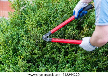 gardener trimmed boxwood, huge, red pruning shears - stock photo