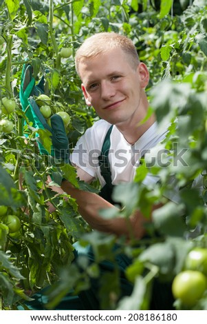 Gardener wearing gloves among tomatoes in greenhouse
