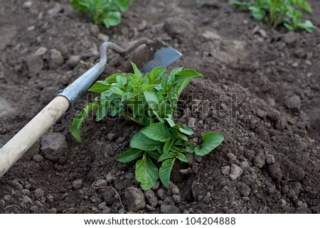 Gardener with hoe cultivating potato plants - stock photo