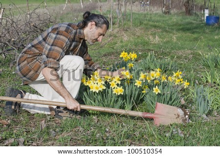 gardener with shovel and yellow narcissus flowers