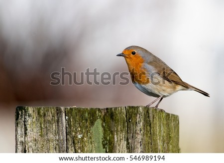 Gardeners best friend, a tame European Robin perched on a fence post