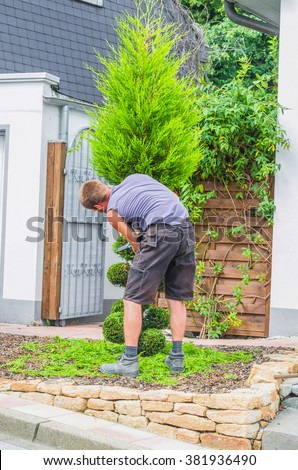 Gardeners in front of a house in the front yard. Trim a Tree of Life or Thuja tree with a hedge trimmer or chainsaw small to maintain its ornamental form.