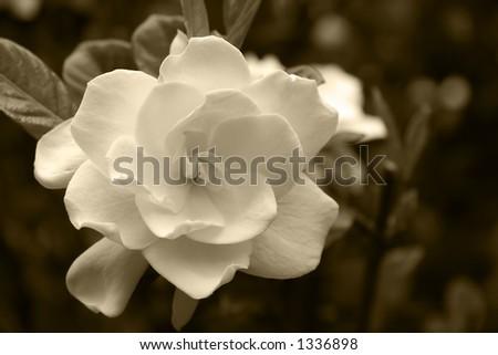 Gardenia Bloom in a Sepia Tone - stock photo