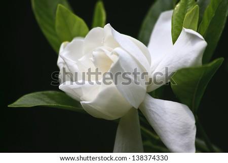 Gardenia Blooms - stock photo