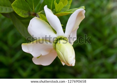 Gardenia jasminoides flower - stock photo