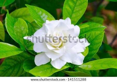 Gardenia jasminoides in Thailand 2 - stock photo