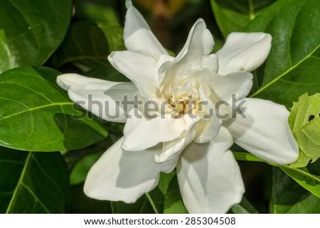 Gardenia jasminoides in the garden - stock photo