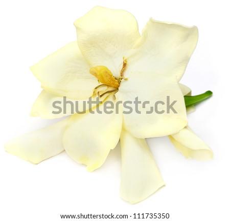 Gardenia or Gondhoraj flower of Southern Asia over white background - stock photo