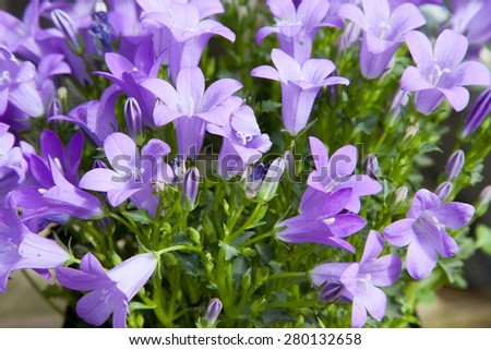 gardening, botany and flora concept - beautiful bellflowers at summer garden - stock photo