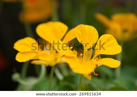 gardening, botany and flora concept - beautiful yellow flowers at summer garden - stock photo