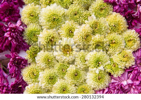 gardening, botany, texture, holidays and flora concept - beautiful chrysanthemums flowers - stock photo