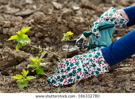 Gardening - cutting from the grape stem. - stock photo