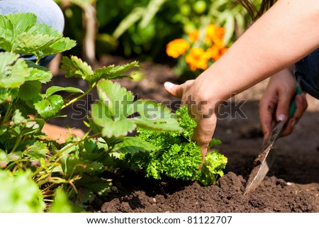 Gardening in summer - woman planting strawberries in a bed