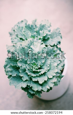 Gardening indoor plant flowering kale in a pot - stock photo