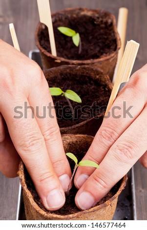 Gardening: Man separating seedlings into planting pots - stock photo