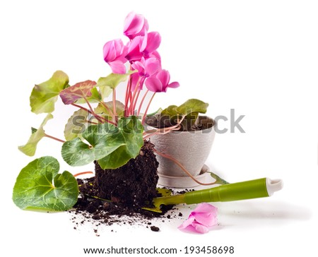 Gardening, planting cyclamen flowers in the pot - stock photo