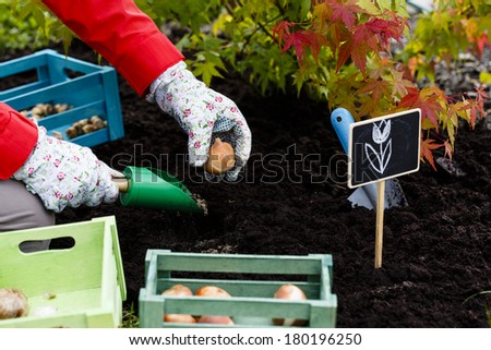 Gardening, planting, flowers bulbs - woman planting tulip bulbs - stock photo