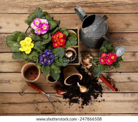 gardening tools and beautiful pink primula in flowerpot  - stock photo