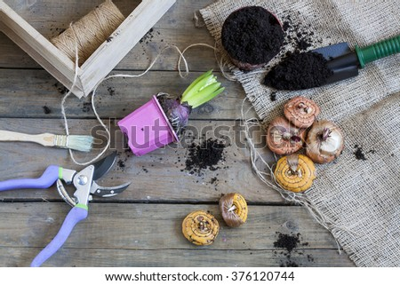 Gardening tools, tubers (bulbs) gladiolus, hyacinth and herbs on dark wooden table - stock photo