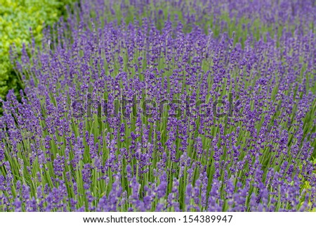 Gardens with the flourishing lavender at castles in the valley of Loire