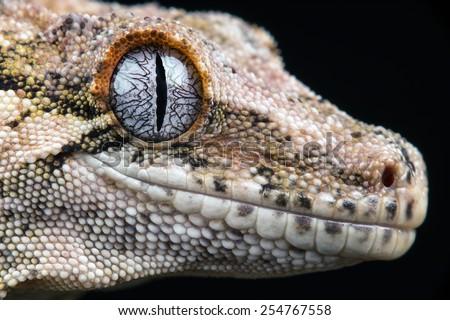 Gargoyle Gecko against a black background/New Caledonian Bumpy Gecko/Gargoyle Gecko (Rhacodactylus Auriculatus) - stock photo